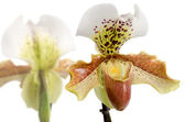 Close up of orchid (Paphiopedilum Maudiae) — Stok fotoğraf