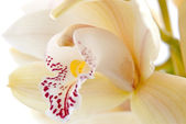 Orchid flower close-up, selective focus — Stock Photo