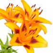 Orange lily flowers — Stock Photo #9408760
