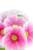 Gros plan de fleurs de primevère rose — Photo
