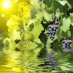 uvas azuis no verão — Foto Stock