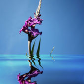 Gladiolus in water — Stock Photo