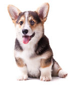 Dog breed Welsh Corgi, Pembroke — Stock Photo