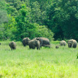Wild Indian elephants in the nature — Stock Photo #8419067