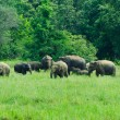 Stock Photo: Wild Indian elephants in the nature