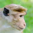 Stock Photo: Portrait of Ceylon macaque closeup