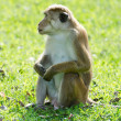Bonnet macaque portrait full-length — Stock Photo