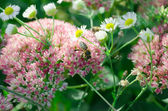 Blurred Sedum background and honeybee — Stock Photo