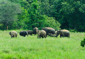 Дикие индийские слоны в природе — Стоковое фото