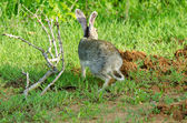 Lepus nigricollis singhala — Stock Photo