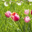Spring tulips - Stock Photo