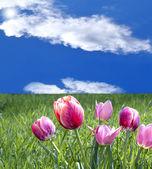 Tulipany wiosna — Zdjęcie stockowe