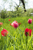 Printemps des tulipes au jardin — Photo