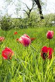Tulipany wiosna w ogrodzie — Zdjęcie stockowe