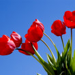 Spring red tulips — Stock Photo
