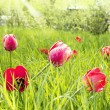 Spring tulips in garden — Stock Photo