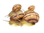 Four snails. — Stock Photo