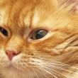 Ginger cat muzzle. - Stockfoto