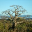 Baobab tree — Stock Photo #8037763