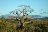 Baobab tree — Stock Photo