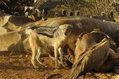 Black-backed Jackal at elephant carcass — Stock Photo