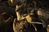 Black-backed Jackal amongst the vultures — Stock Photo