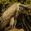 Cape vulture — Stockfoto