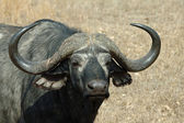 Portrait of Cape buffalo — Stock Photo