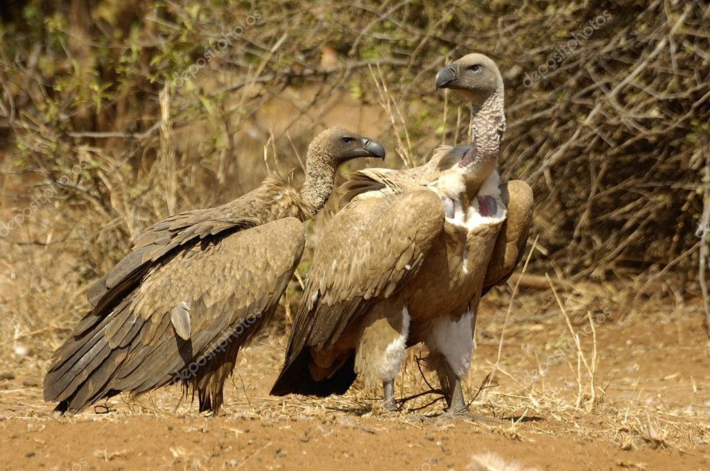Cape vultures — Stock Photo #8049354
