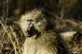 Portrait of a Chacma baboon — Stock Photo