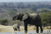 Elefante e rinoceronte branco no poço — Foto Stock