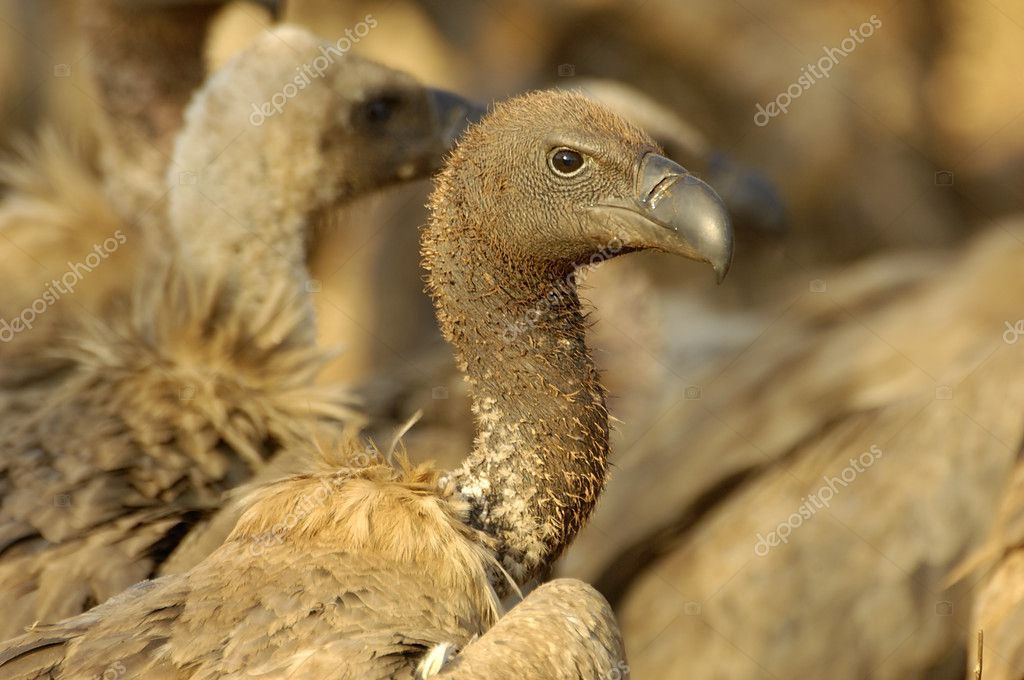 Cape vulture — Stock Photo #8050047