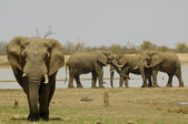 Small herd of Elephant — Stock Photo