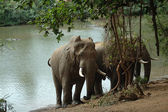 Elephants at Levubu River — Stock Photo