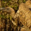 White-backed vulture - 图库照片