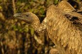 White-backed vulture — Stock Photo