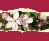 Sheet of paper with cherry blossom — Stock Photo