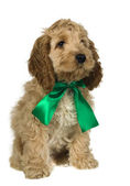 Dog with green ribbon is sitting and watching — Stock Photo