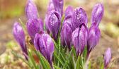 Crochi di primavera viola nelle gocce d'acqua — Foto Stock