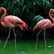 Two flamingos — Stock Photo #9630357