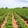 Stock Photo: Potato plants