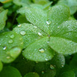 Clover — Stock Photo #9793334