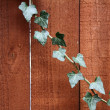 Stock Photo: Ivy on wood