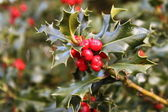 European Holly — Stock Photo