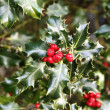 European Holly - Stock Photo