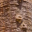 Trunk of the baobab — Stock Photo