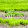 Stock Photo: Rice culture