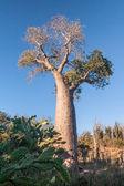 Albero di baobab — Foto Stock
