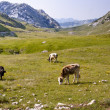 Cow on mounatins meadow - Montenegro - Stock Photo