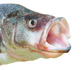 Perch fish with open mouth — Stock Photo